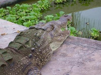 se-esta-buscando-reubicar-una-buena-cantidad-de-cocodrilos-desplazados-por-las-intensas-lluvias-jamaiquinas.jpg